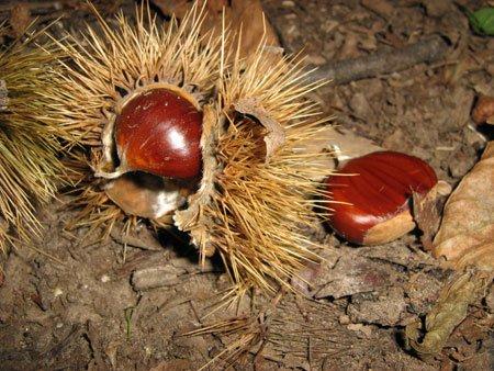 Le castagne, protagoniste della sagra d'autunno di Montefiore Conca