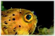 Pesce Istrice - Acquario di Cattolica