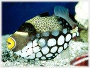 Pesce Picasso - Acquario di Cattolica